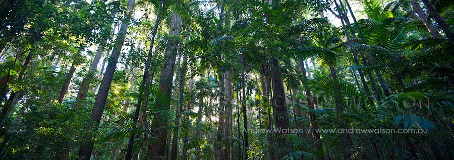 Tall timbers of rainforest area at Pile Valley