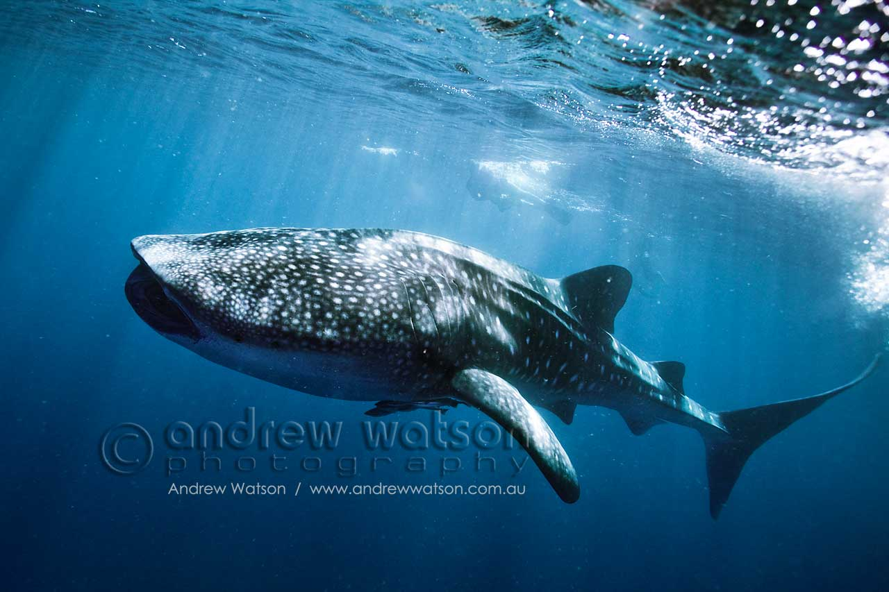 Swimming with a Whale Shark in Ningaloo Marine Park