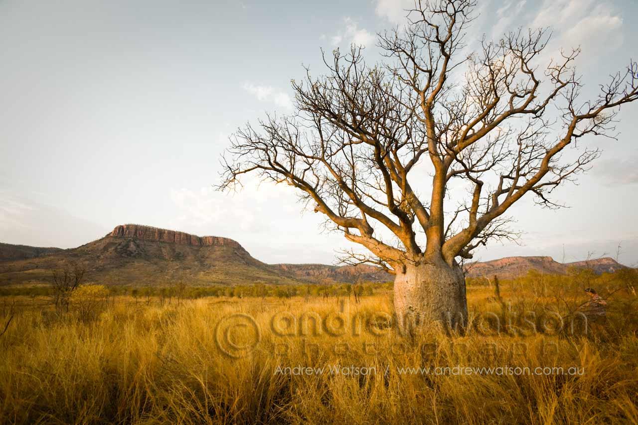 Iconic boab tree of the Kimberleys with Cockburn Ranges beyond