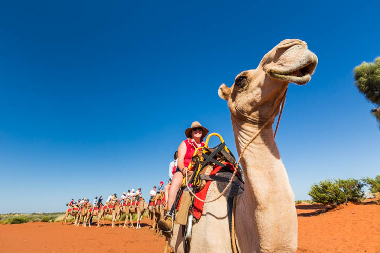 Image of tourist camel train with Uluru Camel Tours