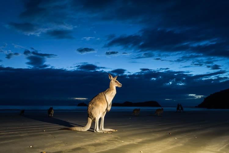 Image of kangaroo on the beach at Cape Hillsborough National Park
